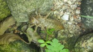 larve de libellule (Copier)